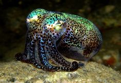 Bobtail Squid ( they can change colour to match their surroundings, just like an octopus can !! )