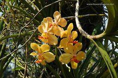 Vanda Orchid Growers | Vanda orchid grown at an orchid nursery in Saigon, Vietnam.