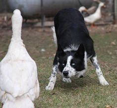 "The Border Collie Collie is actually just a ""Scottish dialect word used to describe sheepdogs,"" including the border collie. This breed is arguably one of the smartest breeds on the planet, followed by the Standard Poodle and German Shepherd. Queen Victoria was a Border Collie enthusiast (let's be honest...she was a dog enthusiast period!) and is partially responsible for the ""divergence between our modern Collie and the Border Collie"" http://www.akc.org/breeds/border_collie/did_you_know.cfm"