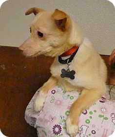 Burlington, WA.  SPARKY is only 6 mths, Chihuahua mix full of personality. He was found cold, shivering one night on Cook Road. Well he's here now, waiting for a loving family! Good with kids, dogs, and cats.    ID# 18158. Email humane@clearwire.net or phone 360-757-0445 after 11am      For further information, feel free to contact us via email humane@clearwire.net(*this is the shelters new e-mail address), or phone ( 360-757-0445 after 11am ). On dog applications if