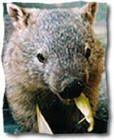 Cuddle a Wombat :) Queensland