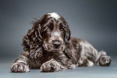 Cocker Spaniel pup - stay cute! by Christian Vieler on 500px