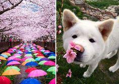 primavera japon flores 9