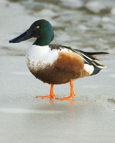 Northern Shoveler Anas clypeata) is a common and widespread duck. It breeds in northern areas of Europe and Asia and across most of North America, wintering in southern Europe, Africa, the Indian subcontinent, Southeast Asia, and Central and northern South America.