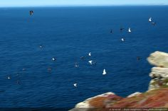 Seagulls flying over the coast   Brittany, France