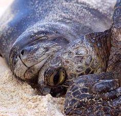 Hawaiian Monk Seal & His Sea Turtle Buddy http://ift.tt/2re5MEB