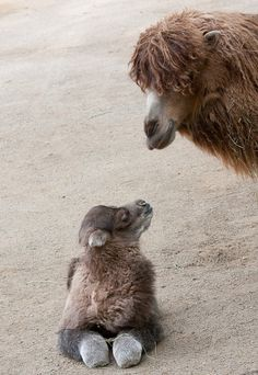 """Now, I say to you my little calf...you must behave!"" Says mama Bactrian camel..."