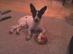 """After a few testing weeks, Ralphie house trained wonderfully and was a very well behaved puppy. We ultimately found out that he is a Rat-Terrier which is a very lovable and devoted dog breed. We are both so amazed on how much he has grown and learned...we agree that adopting him was the best decision we ever made. We love him to death. After all dogs are known as man's best friend."" Lauren, his guardian, has a grammar blog where she creates free lessons for ESL students some including…"