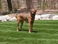 SYNLawn Ohio provides quality artificial grass for your home or office! We install our lush synthetic turf in Columbus, Cincinnati & Dayton. Dog Area, Fake Grass, Pet Dogs, Pets, Artificial Turf, Photo Archive, Photo Galleries, Backyard, Landscape