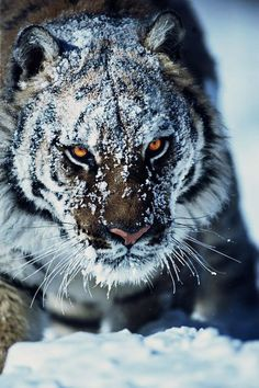 Tiger In The Snow - From 35 Incredible Tiger pics, photos and memes. - SillyCool