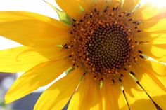 Look at the sunflower instead of looking at sun.Normally tracking the sun but this was in reverse direction.