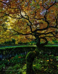 Tumblr japanese maple tree number 4 by markbowenfineart 500px