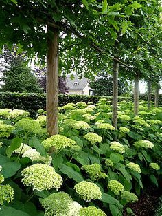 Inspiration: Plant Annabelle Hydrangeas at base of Savannah Holly trees backed by hedge of Japanese Yews. Plant ferns and hostas at border.
