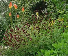 """Sanguisorba menziesiiAn assemblage of refined, blue-gray, feathery foliage gives way to slender, branching stems and tightly arranged, finger-length blooms in vivid, dark red shades. Earlier to flower than other Sanguisorbas, this enticing perennial cavorts with Penstemon 'Raven' and Achillea 'Sawa Sawa' in our border.Blooms May–July.Size: 2-3/4' high x 16""""–18"""" wide; hardy to zone 4 Diggindog"""