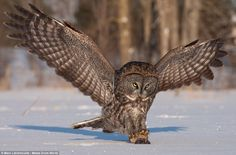 This is the moment a great grey owl swooped on a tiny rodent snowy fields in Ontario, Cana...