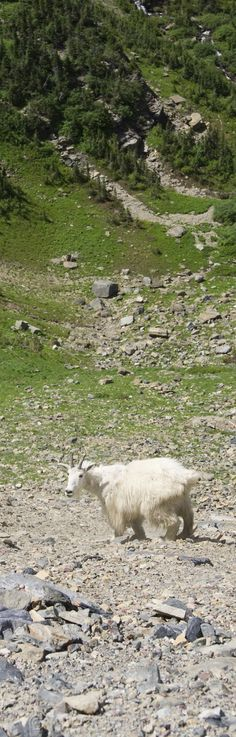 Mountain Goat in Glacier National Park GT Imagery: Logan Pass, Going-To-The-Sun Road, Glacier National Park Heaven On Earth, Logan, National Parks, Sun, Spaces, Mountains, People, Photography, Travel
