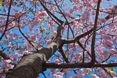 Cherry Blossoms at the Brooklyn Botanical Gardens - Unfolding of Spring - Nalata Nalata