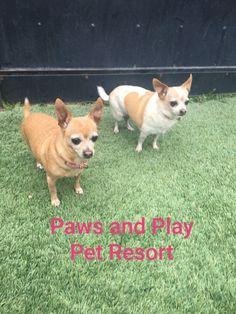 Peter Piper, Pet Resort, Corgi, Pets, Animals, Corgis, Animales, Animaux, Animal