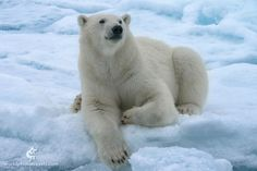 Ceremonial portrait of adolescent polar bear by Mike Reyfman on 500px