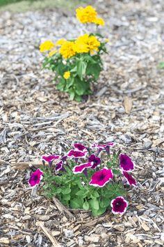 Easiest flowers to grow - petunias and zinnias. Trailing Flowers, Faux Flowers, Zinnias, Petunias, Easiest Flowers To Grow, Zinnia Garden, Plants For Hanging Baskets, Replant, Flowers Perennials