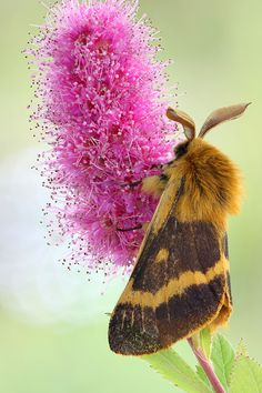 Beautiful moth on a lovely flower.