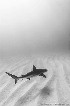 Caribbean Reef Shark Fine Art Underwater by TheLivingSeaPhoto Ocean Wallpaper, Shark Wallpaper Iphone, Shark Pictures, Reef Shark, Shark Swimming, Marine Environment, Ocean Creatures, Shark Week, Underwater World