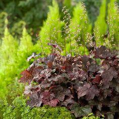 Perenn Rödbladig Alunrot