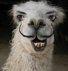 FunnyWorld - Funny Never Ending ! Repinned by Elizabeth VanBuskirk. Decorate picture of a llama?