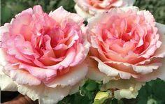 Rosier buisson 'Souvenir de Baden Baden' ® Korsouba
