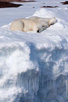 Polar Bears Asleep in the Snow