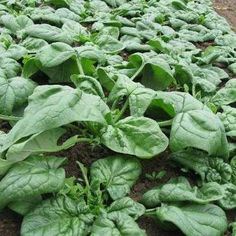 Spinach can overwinter in warm climates