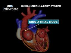 13 videos about human anatomy in less than 5 minutes Teaching Science, Science For Kids, Science Nature, Teaching Ideas, Human Anatomy And Physiology, Circulatory System, Our Body, Human Body, Biology