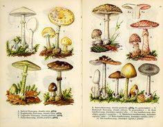 fungus amanitas, scanned from a Danish mushroom book; via scientific illustration, uploaded to flickr by fog and swell amanitas by fog and swell on Flickr.