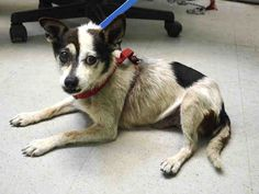 SAFE 4-22-2015 by Louie's Legacy Animal Rescue --- SUPER URGENT PRETZEL – A1033591  MALE, TRICOLOR, PARSON RUSS TER MIX, 10 yrs STRAY – STRAY WAIT, NO HOLD Reason STRAY Intake condition EXAM REQ Intake Date 04/18/2015