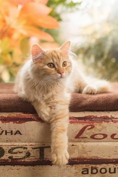 Cute Cats And Kittens, Kittens Cutest, I Love Cats, Pretty Cats, Beautiful Cats, Mama Cat, Orange Tabby Cats, Cattery, Tier Fotos