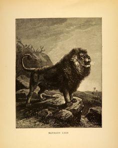 Lion (1885)