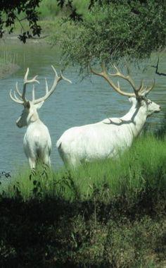 Albino Elk