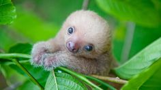 As a wildlife conservationist in Costa Rica, Sam Trull, has captured numerous photos of baby sloths, which she is featuring in a new book entitled Slothlove.