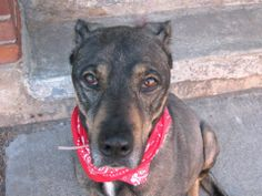 TO BE DESTROYED - 03/18/14  Brooklyn Center    My name is ASKYLA. My Animal ID # is A0993759.  I am a spayed female black and brown germ shepherd mix. The shelter thinks I am about 7 YEARS old.   I came in the shelter as a STRAY on 03/12/2014 from NY 11228, owner surrender reason stated was STRAY.  https://www.facebook.com/photo.php?fbid=772925209387027&set=a.611290788883804.1073741851.152876678058553&type=1&permPage=1