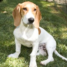 Maribelle is an adoptable Basset Hound Dog in Malibu, CA. Maribelle is a 5 month old Bassett/Beagle X. She was an owner surrender to the shelter because of isolation barking. Since she has been in o...