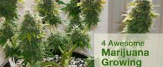 Useful marijuana growing tips for newbies and experienced growers as well. Including Low Stress Training, Topping and FIMing your marijuana plant. Growing Weed, Marijuana Plants, Natural, Herbalism, Stress, Training, Aquaponics, Herbs, Medical Marijuana