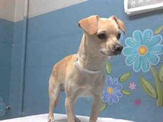 This DOG-ID#A4748507  I am described as a neutered male, tan Chihuahua - Smooth Coated mix  The shelter thinks I am about 10 months old.  I have been at the shelter since Aug 22, 2014. Back For more information about this animal, call: Los Angeles County Animal Control - Lancasterat(661) 940-4191 Ask for information about animal ID number A4748507