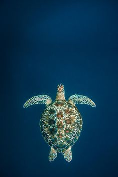 Snorkeling with Sea Turtles on Gili Trawangan - Underwater Photo Gallery Turtle Life, Sea Turtle Art, Sea Turtle Shell, Cute Turtles, Baby Turtles, Sea Photography, Underwater Photography, Turtle Background, Sea Turtle Pictures