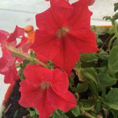 Petunia's #rood