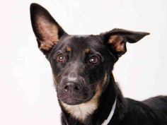$85 IN PLEDGES! NEEDS $125 MORE! HELP BEFORE IT'S TOO LATE!    GIDGET  (A1397517) I am a spayed female black and tan Doberman Pinscher and Labrador Retriever.  Urgent Dogs of Miami  The shelter staff think I am about 9 months old and I weigh 52 pounds.