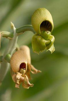 Catasetum orchids