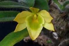 Dendrobium senile; by Thomas Orchids