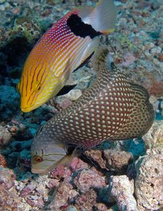 Rockmover wrasse and Blackfin hogfish feeding together Taveuni, Fiji