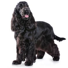 Cocker Spaniel - breed information and advice