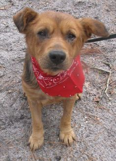 Arlo - Shepherd/Chow Chow mix - Male - 5 yrs old - Voorhees Animal Orphanage - Voorhees, NJ. - http://www.vaonj.org/adoptabledogs/ - https://www.facebook.com/voorheesanimalorphanage/ - http://www.adoptapet.com/pet/17643316-voorhees-new-jersey-shepherd-unknown-type-mix - http://petango.com/Adopt/Dog-Shepherd-24835914 - https://www.petfinder.com/petdetail/37489785